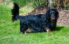 boykin spaniel(0.0), field spaniel(0.0), setter(0.0), picardy spaniel(0.0), blue picardy spaniel(0.0), austrian black and tan hound(0.0), polish hunting dog(0.0), dog breed(1.0), animal(1.0), dog(1.0), hovawart(1.0), carnivoran(1.0),