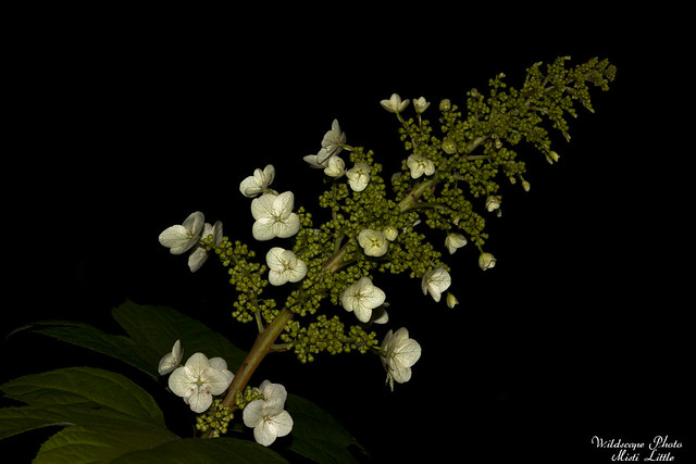 oakleafhydrangea2