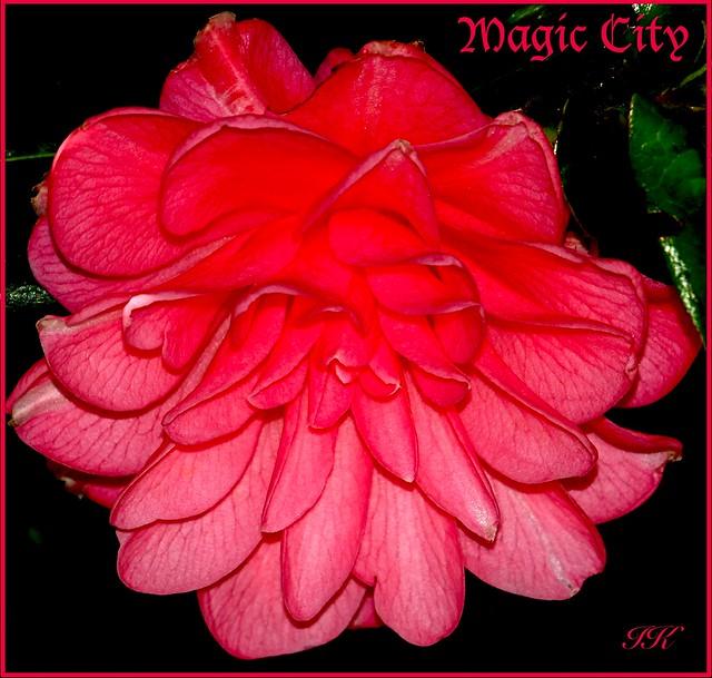 Pink Camilia Magic City