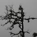 Trees in the fog with  many parasitic plants- árboles con muchas plantas parásitas en la neblina; Región Mixes, Oaxaca, Mexico por Lon&Queta