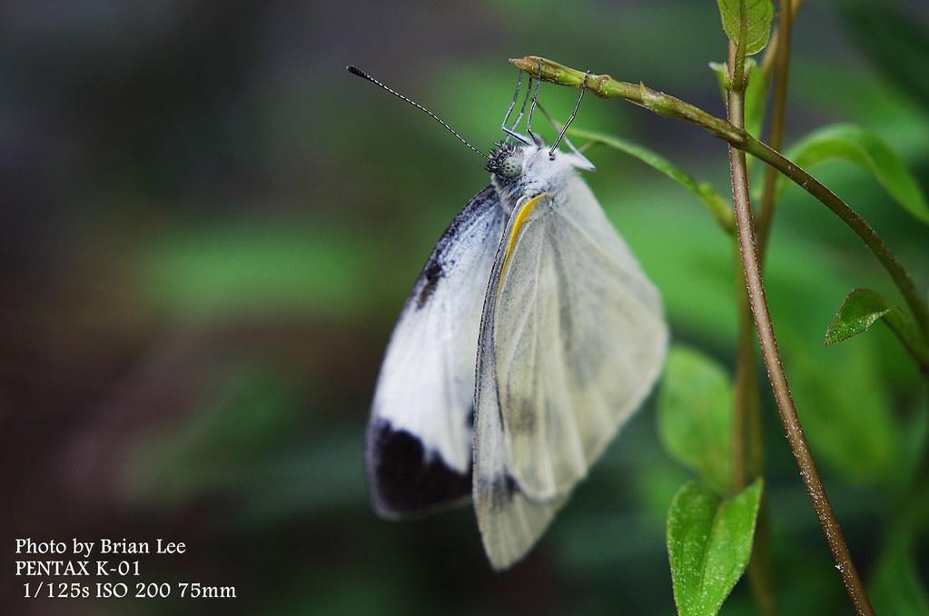 花。蝶。貓     [ Phenix 50 1.7 ] [ 6P ]