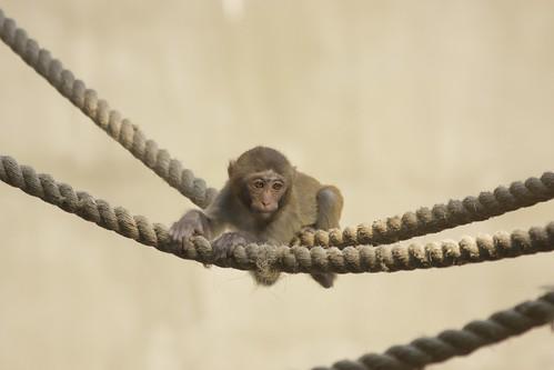 Baby Japanese monkey