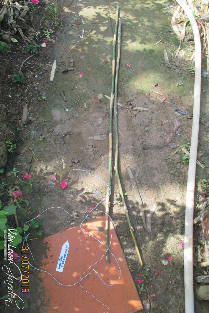 cach trong hong leo lan chi jasmina xuong dat (23)-vuonhongvanloan.com