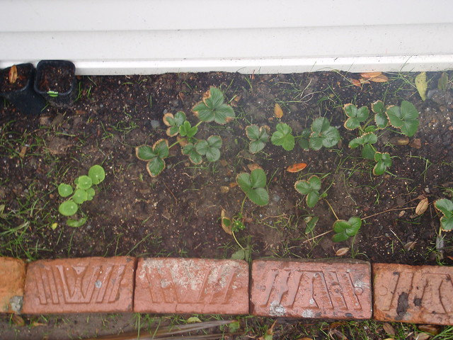 New planted strawberries