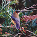 Small photo of Eastern Spinebill(Acanthorhynchus tenuirostris)