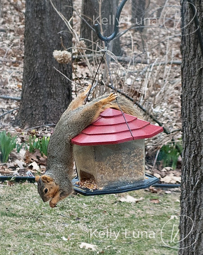 acrobat squirrel-crop