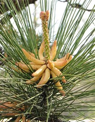 larch(0.0), date palm(0.0), arecales(0.0), borassus flabellifer(0.0), branch(0.0), produce(0.0), saw palmetto(0.0), conifer cone(0.0), flower(1.0), pine(1.0), tree(1.0), fir(1.0), spruce(1.0),
