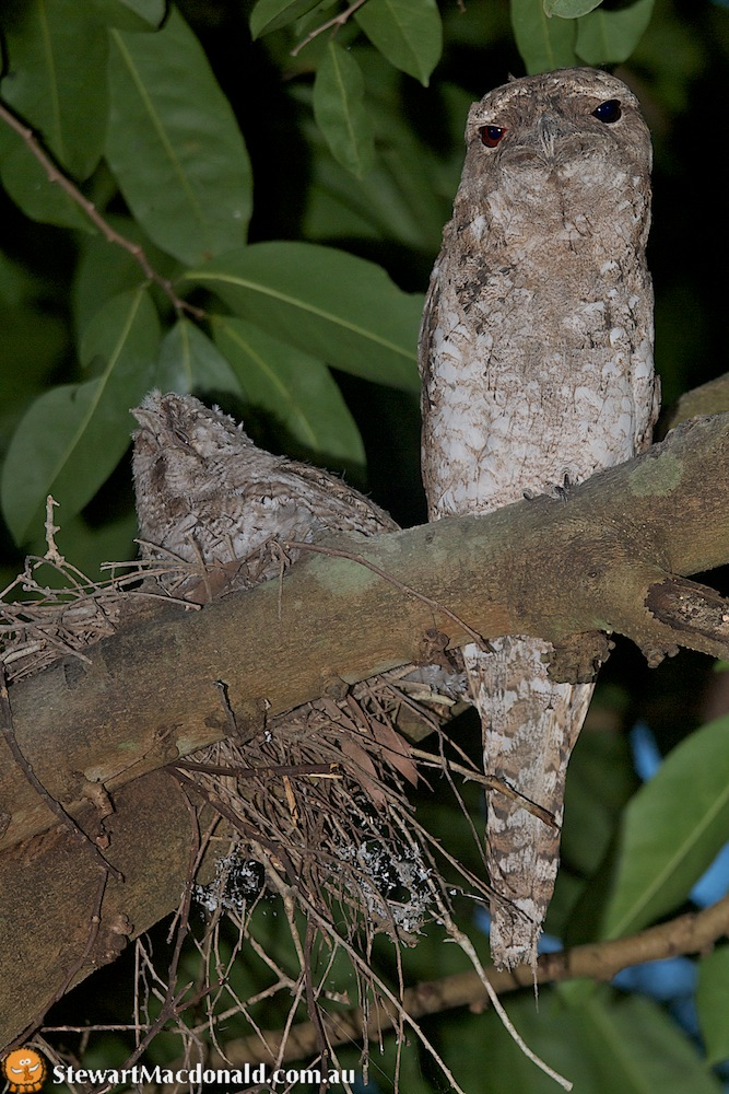 Papuan frogmouth (Podargus papuensis) on nest