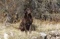 pet(0.0), german wirehaired pointer(0.0), animal(1.0), dog(1.0), mammal(1.0), fauna(1.0), hunting dog(1.0),