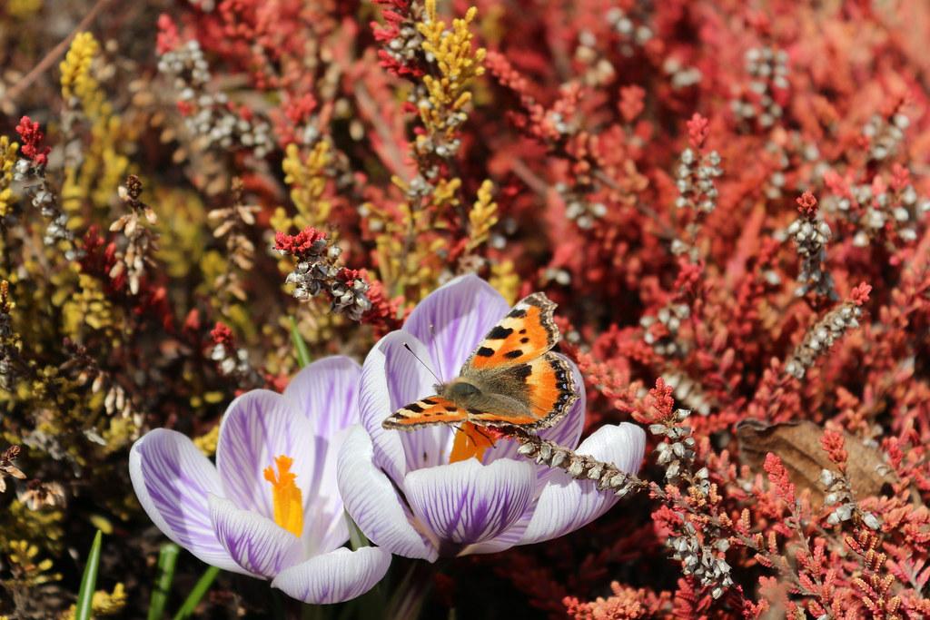 Schmetterling und Krokus
