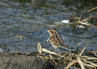Little Bunting, Elba Park