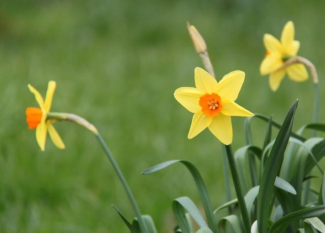 gele narcissen in de Leuvense Kruidtuin