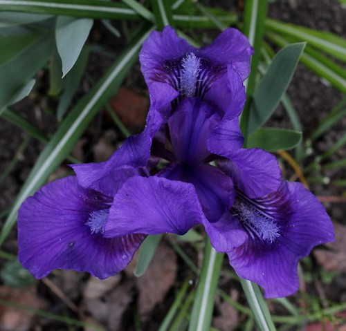 Iris nains (14)
