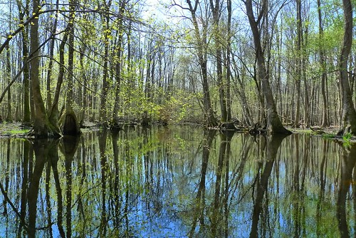Somewhere Up On Bennett's Creek - Merchants Millpond State Park - near Gatesville, NC