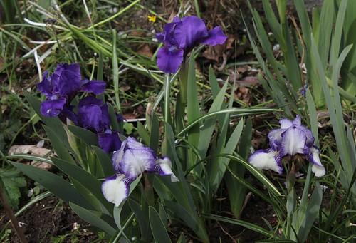 iris nain (3)
