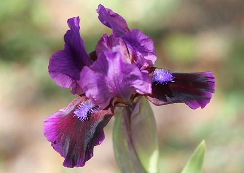 Iris - floraisons 2011 8666734900_f8236fbc7f