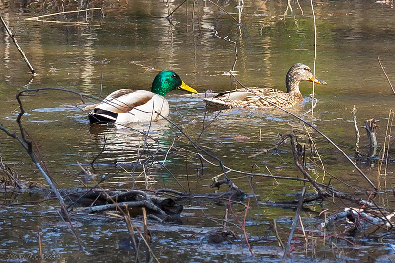 Ducks in forest