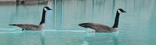 Canada geese in Bakuli