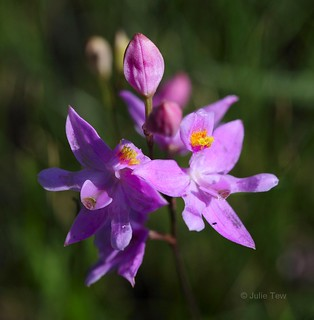 Bearded Grass Pink Orchid
