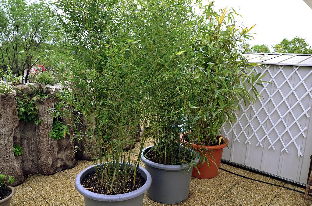 sealence met les boos en pots lesbambous fr forum des fous de bambous