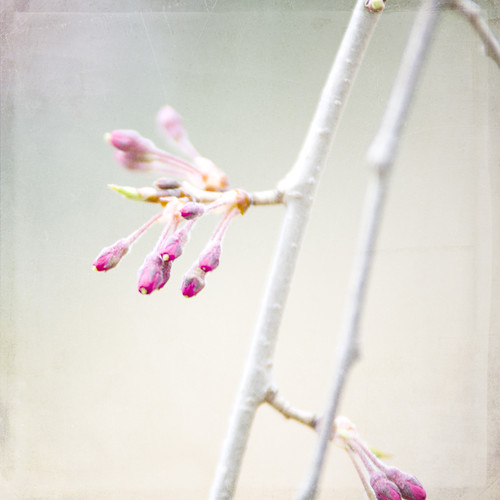 Weeping Cherry Tree Buds by The Shutterbug Eye™