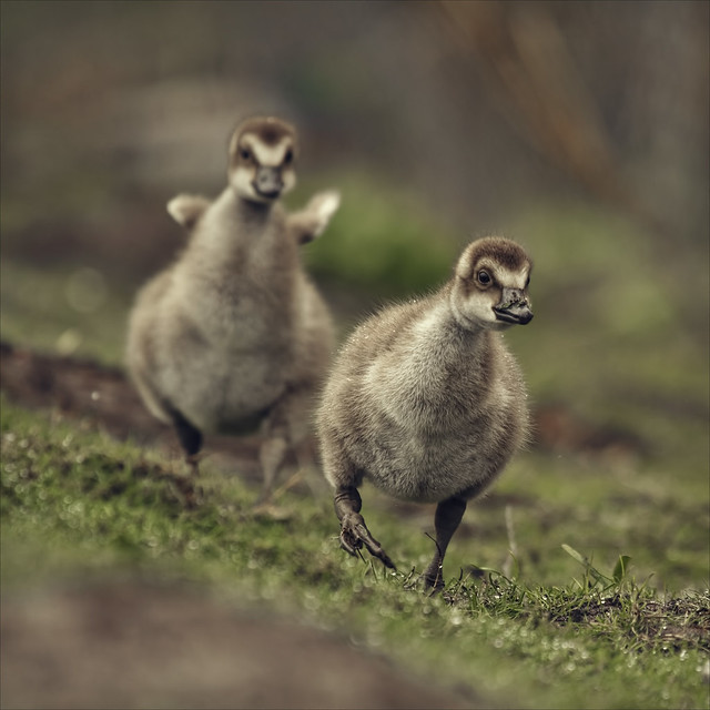 the gosling sprint