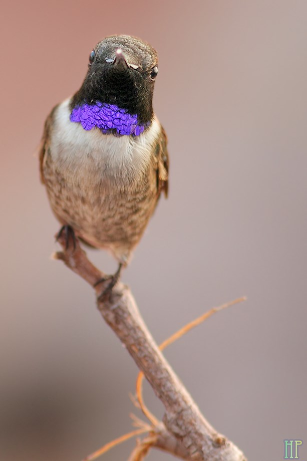 Black Chinned Hummingbird 050113