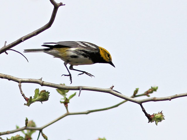 Black-throated Green Warbler 2-20130430