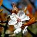 The last Blossom by DaveJC90
