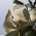 In the neighborhood…Magnolia grandiflora - 16