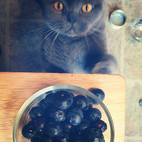 Breakfast for Bumbles #blueberries #maine #kitty #morekittiesforinstagram  #breakfast #BritishShorthair