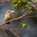 Pale-billed Flowerpecker by Jnarin