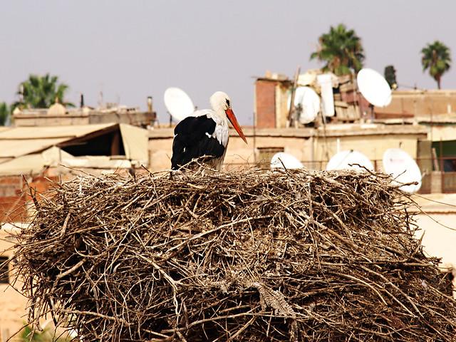 Stork in Morocco