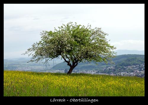 "tree green landscape nikon ngc natur 1750 grün tamron lörrach baum autofocus südbaden tamronspaf1750mmf28xrdiiildasphericalif tüllingen obertüllingen nikonflickraward ""nikonflickraward"" nikond5100"