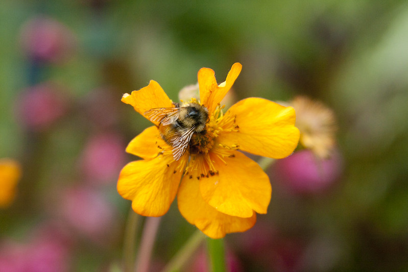 Geum and bee
