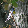 Day 142: Northern Parula