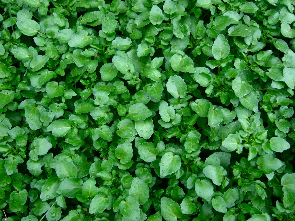 watercress raw