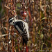 Small photo of Pic chevelu - Hairy Woodpecker