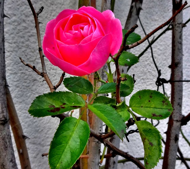 November 11, the last rose this year?