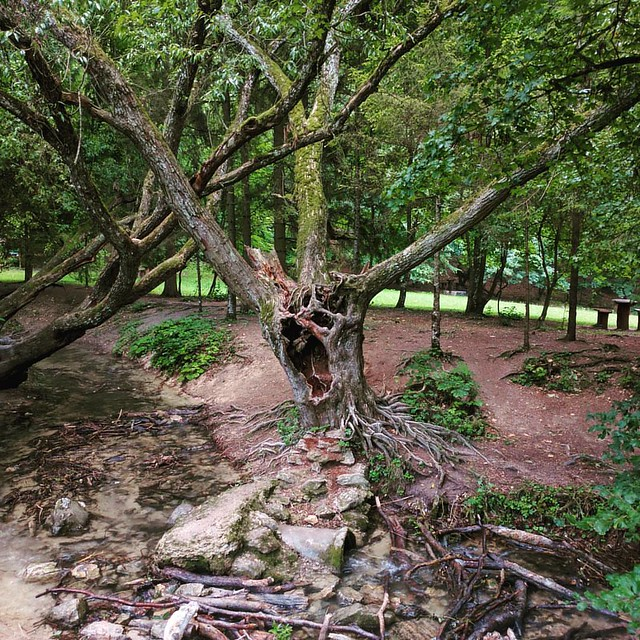Horror tree #nature #nophotoshop #tree #hungary