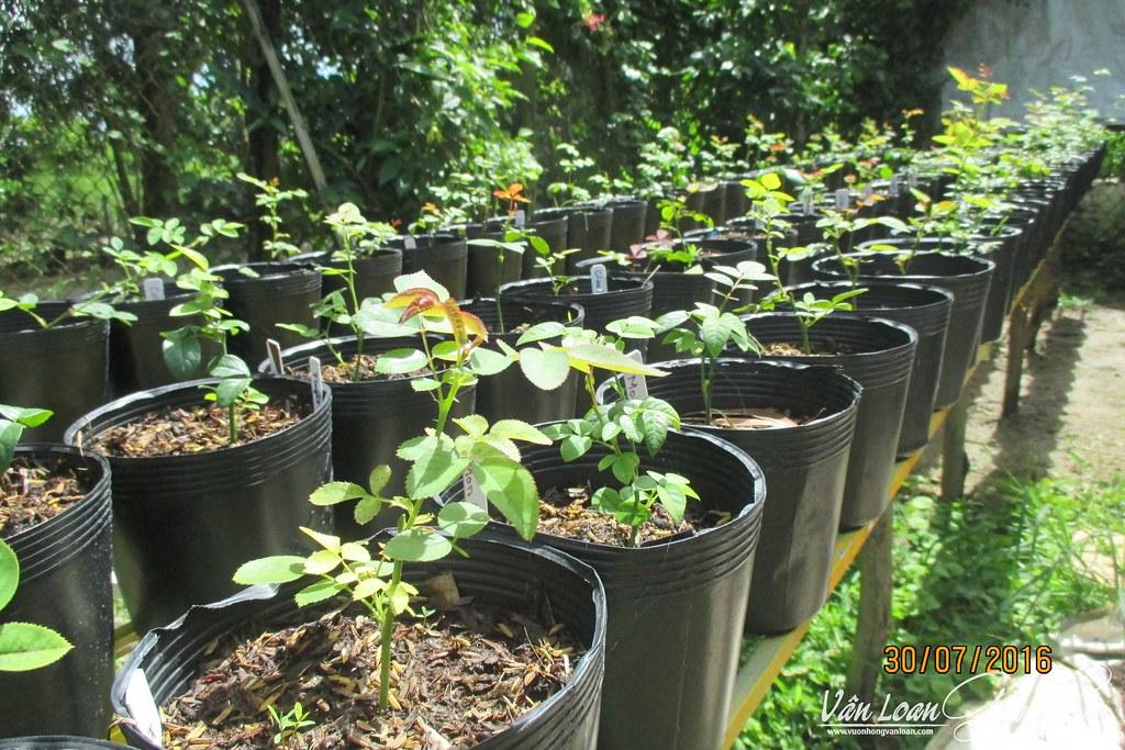 Các cây hồng leo sau khi giâm cành thành công, tôi ra chậu và để nơi có nắng nhẹ chăm sóc trong 10 ngày đầu