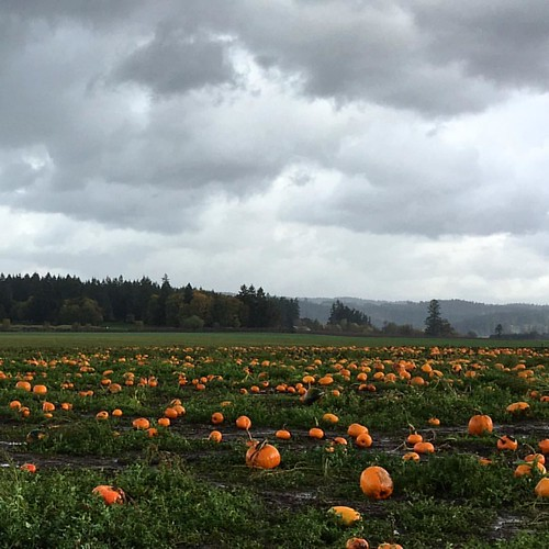 Pumpkin patch, Lakeview Farms #pumkinpatch #pumkin #lakeviewfarms #oregon #pnw #pumkinfarm #northplains
