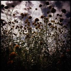 Desert Flowers - Chinati