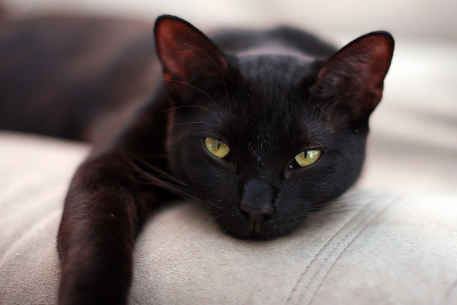 Black Cat Brigade Des Poulpes
