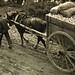 Ramassage des pommes - Pays d'Auge, 1947