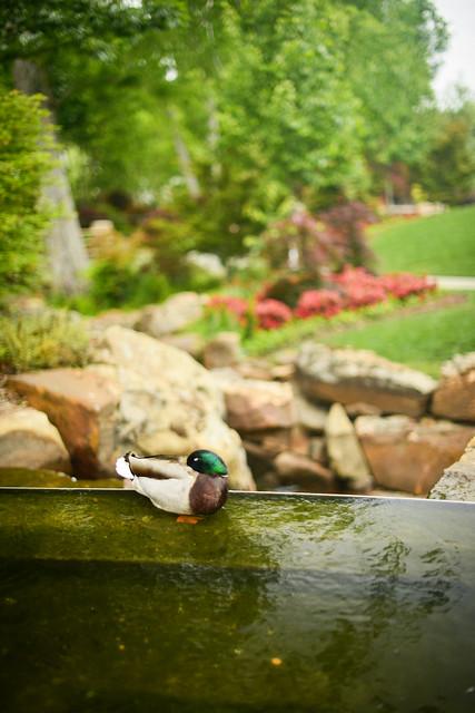 Duck at the Arboretum