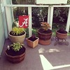 Potted some Bama plants today!
