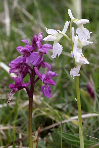 Orchis mascula var. alba