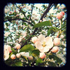 TtV2013:may ~ appleblossoms