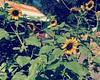 #sunflowers #flowers #garden #sunflower